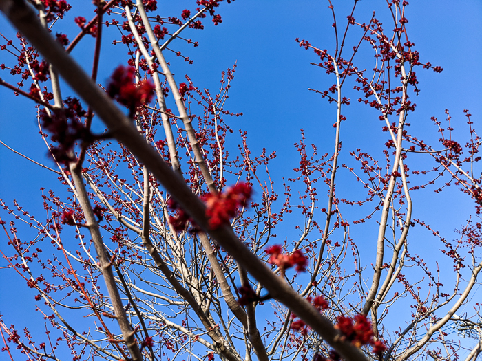 Buds on branches of red maple against blue sky